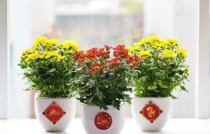 Cây hoa cúc để bàn làm việc